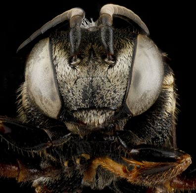 bee face